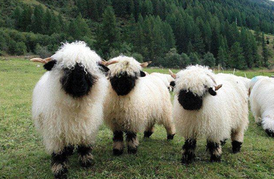 sheep- blacknose sheep photo.png